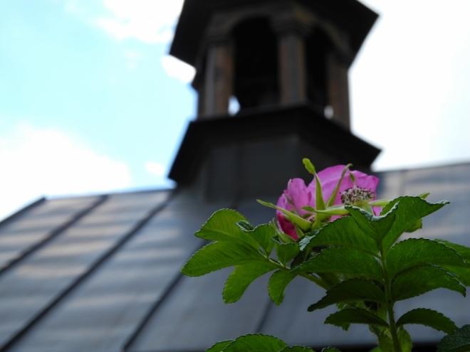 Smuteční šípková růže.