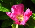 ... a veselá šípková růže.