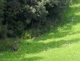 Divočáci jsou v našich lesích přemnoženi. Chybí jejich predátoři, především vlci.