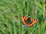 Babočka kopřivová, jeden z mnoha druhů motýlů, které zna své pouti potkáme.