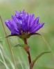 Hořec je jednou z bylinek, kterým se v horách daří.