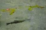 Pstruh v rybníčku u ústí Blatnické doliny.