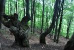 V bukovém lese.