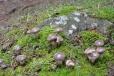 Pavučiec je jednou z mnoha hub, které za Lipnem rostou.