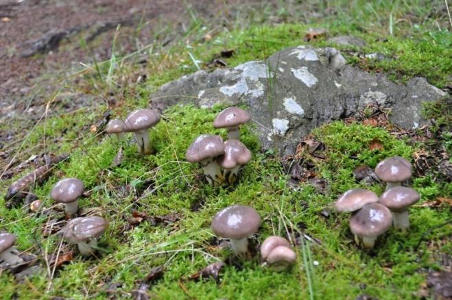 Slizák mazlavý je jednou z mnoha hub, které za Lipnem rostou.