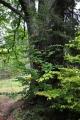 Alej Svobody je státem chráněnou alejí starých dubů. Přesto jsem si pro dokumentární fotku vybral tento statný buk.