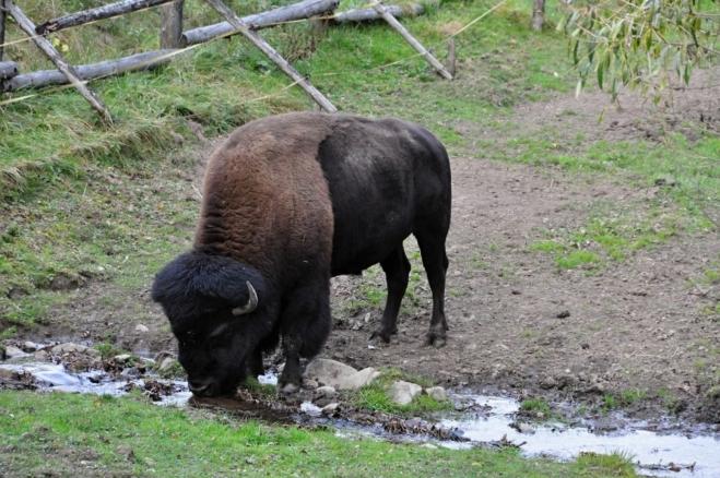Bizoní žízeň.