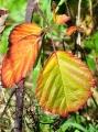 Ostružiny se postupně zbarvují od žluté přes oranžovou až k temně rudé.