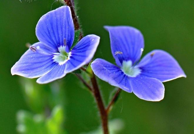 Z touhy růst a líbit se světu vzkvétají zjara tmavomodré květy rozrazilu, aby zkrášlily břehy horských potůčků ...