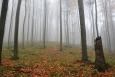 Mlhy dělají les tajemným.