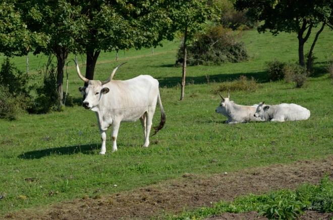 Při opačné straně jezera se pase maďarský stepní skot, asi nejimpozantnější krávy, co jsem kdy viděl naživo. Značení turistických tras začíná správně pomaďarsku pokulhávat, ale ztraceni se ještě necítíme.
