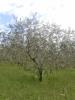 Olivovník