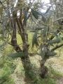 Plody a listy olivovníku