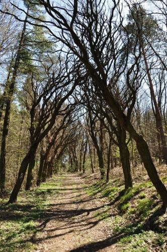 Cestu vzhůru ke kostelu lemují podivně zkroucené kmeny akátů. Ty byly do Evropy dovezeny kdysi jako okrasné stromy a nejsou v naší krajině původní. Na chudých skalnatých svazích se jim u nás dobře daří.