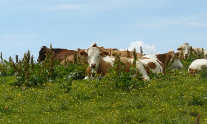 Krávy odpočívající v sedle. Jestlipak se také kochají rozhledy?