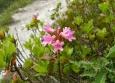 Kvetoucí rhododendron (jinak také pěnišník rezavý)
