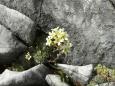Lomikámen korovitý