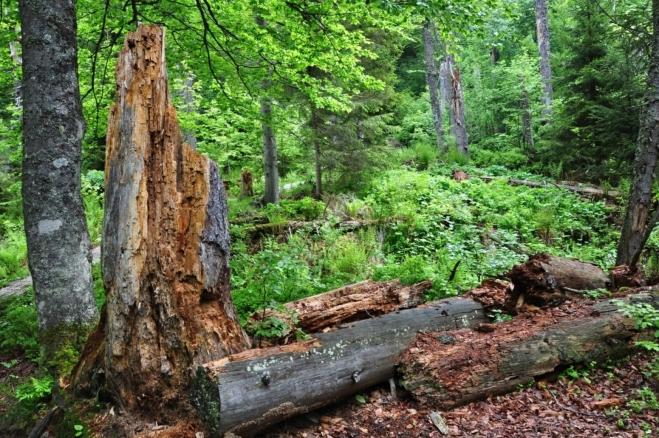 Rozdíl proti Šumavě je v tom, že se zde nachází především smíšený les. Kůrovec zde zapracoval též, ovšem jen v nejvyšších hřebenových partiích.