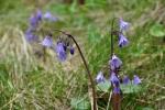 Je konec května, ale zde ve 1 400 metrech teprve nyní kvetou dřípatky.