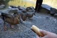 Kachny divoké jsou na krmení od návštěvníků jezera zvyklé. Svačinku zde vybalí asi každý. My též.