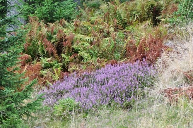 Barvy vřesu dominují příchozímu podzimu.
