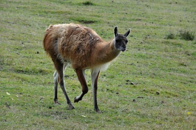 Jejich vzhled je prozrazuje. Lama guanako vyměnila planinu Altiplano za pobyt na Šumavě.