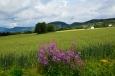 I takto krásně to může v Norsku kvést. Skoro takový jihočeský venkov, chtělo by se říct.