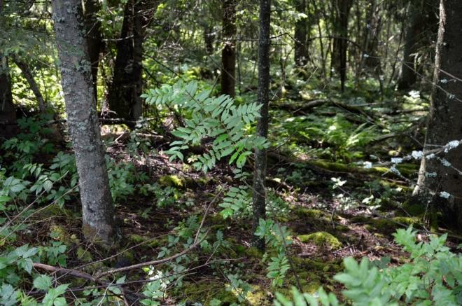 První nakouknutí do skandinávského lesa. Na nějaké procházky mezi stromy to nebude, vše je podmáčené a špatně prostupné.