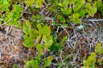 Brusinky v národním parku Rondane, Norsko