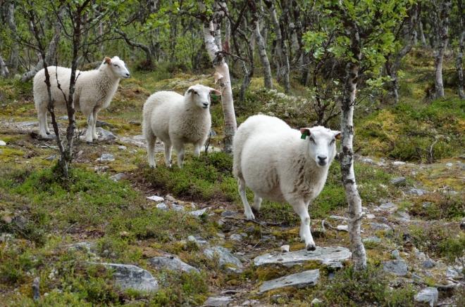 Tím ovšem komplikujeme život těmto třem ovečkám, které nyní musejí trpělivě čekat, až jim cestu přes most uvolníme.