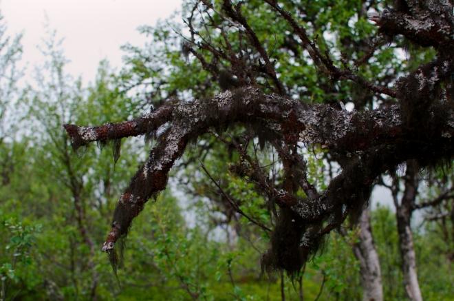 Cestou z vrcholu na vyhlídku potkáváme několik stromů porostlých těmito tmavými chuchvalci, ať už to je mech, lišejník, či něco úplně jiného. Záhy poznáváme, že na severních svazích kopce je touto věcí porostlé skoro všechno.