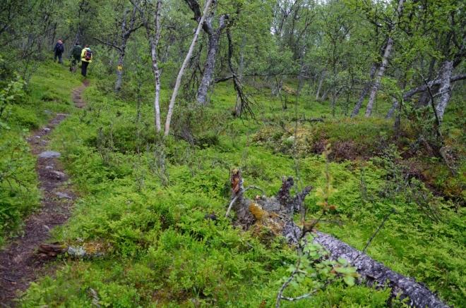 Les na severním svahu, jenž patří k národnímu parku Rondane, je parádní. Zřejmě jde o víceméně nedotčený prales, možná i deštný (v tuto chvíli určitě :-)).