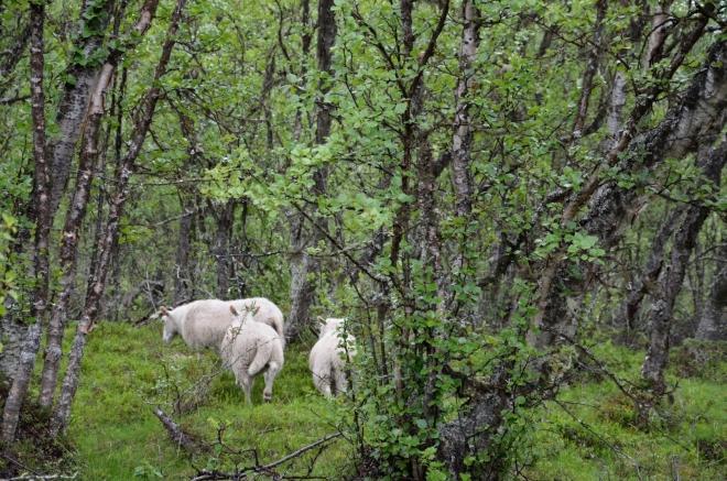 Máme na svědomí další vyplašené ovce, tato zvířata totiž vesměs využívají stejné stezky jako turisti.