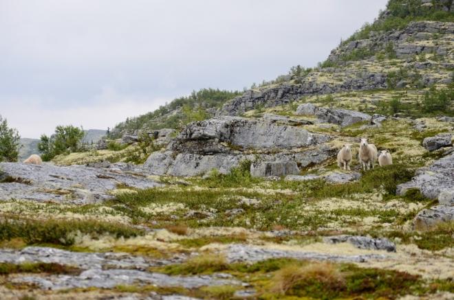 Nacházíme se na lišejníkovém ostrově, jenž jsme viděli shora, a plašíme další ovce…