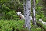 Ovce u vodopádu Vermafossen, Norsko
