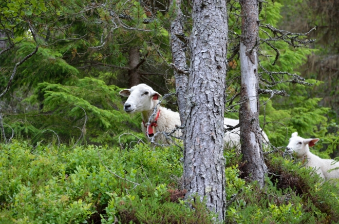 Ty samé ovce, již ukryté v bezpečí