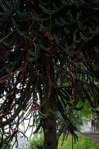 Cestou zpět jdeme opět parkem. Všímáme si především zvláštního jehličnatého stromu.