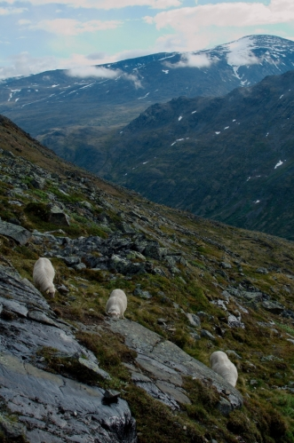I na svazích Jotunheimenu potkáváme několik oveček, tyto jsou oproti jiným dost nebojácné. Musí to být paráda pást se každý den na místě s takovými výhledy.