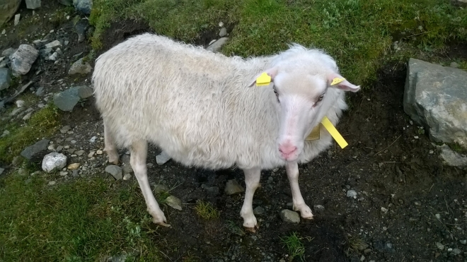 Pro detail ovečky si došel Honza, ochotně mu zapózovala. Že by její nová profilovka na Facebook?