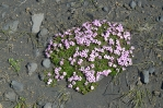 Jedna z mála kytek držících se v písku a kamení.