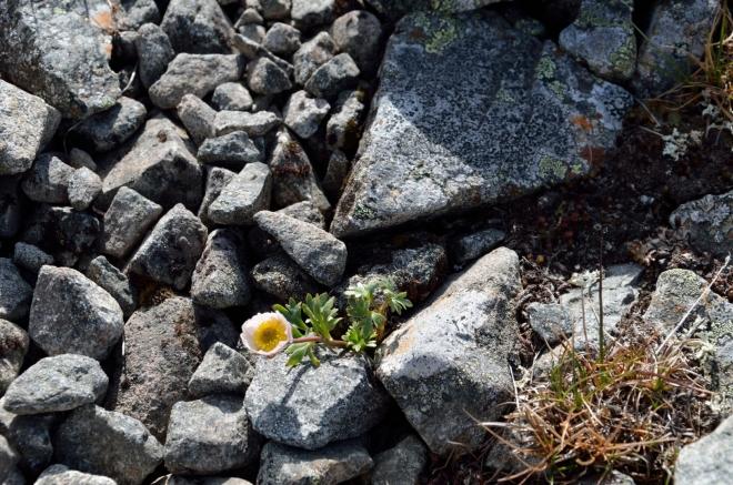 Věřte tomu nebo ne, i v těchto zabijáckých podmínkách kvetou kytičky. A mezi kameny čile pobíhají pavouci…