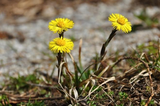 Podběl je jednou z prvních jarních bylinek.