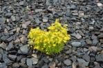 Květiny ve štěrku, Norsko