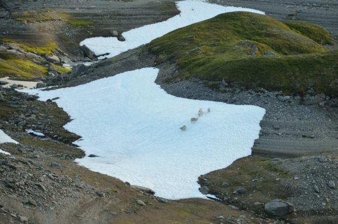 Ovce skotačící na letním sněhu