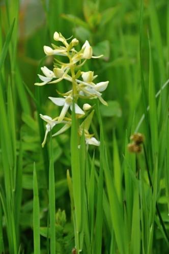 Vemeník dvoulistý. Pro tuto krásnou orchidej si přírodovědci vymysleli hnusné jméno.