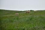 Ovce pasoucí se na pseudokráteru