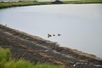 Břeh jezera oživený kachničkami