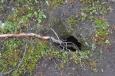 Malá bříza rostoucí z díry v zemi