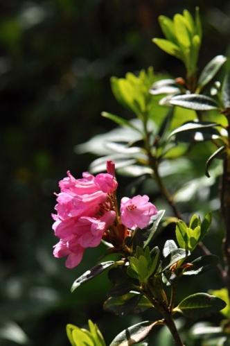 Nízké keříky rododendronů kolem stezky směřující na vrchol Schlernu překrásně kvetou.