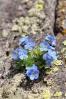 Vysokohorské pomněnky mají o trochu větší květy, než ty naše.